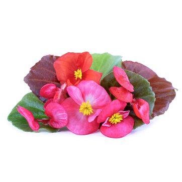 Véritable - Kwiaty Jadalne - wkład nasienny - begonia - do doniczek autonomicznych