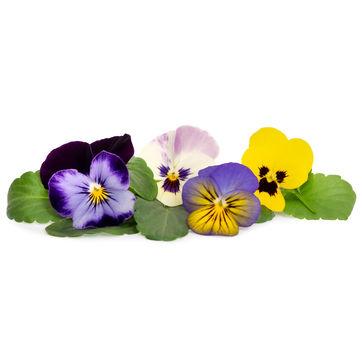 Véritable - Kwiaty Jadalne - wkład nasienny - bratki wielokolorowe - do doniczek autonomicznych